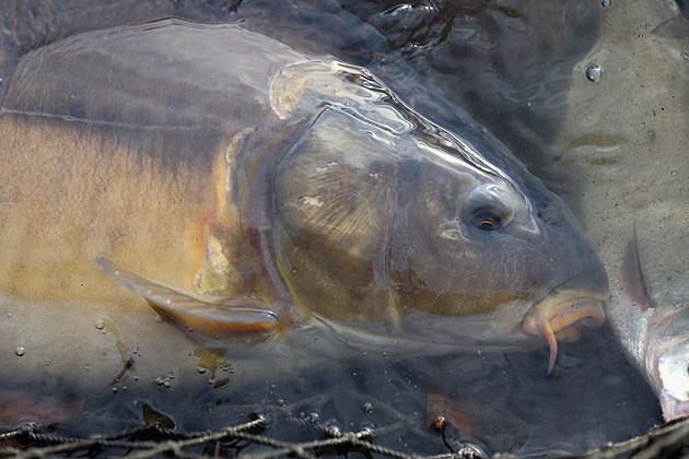 Fishermen Harvest Carp Ahead Of Christmas